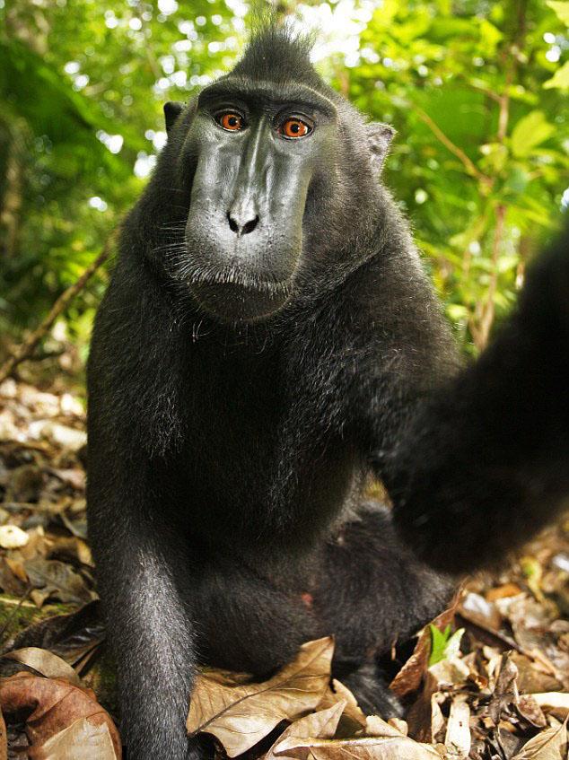 pensive macaque self-portrait.jpg