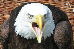 angry_eagle.jpg